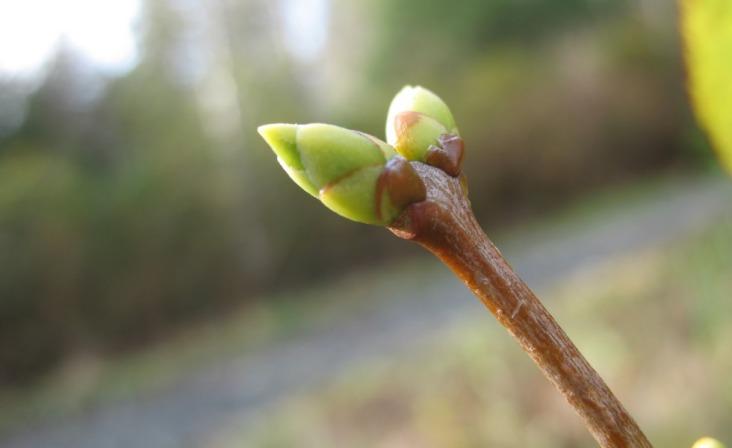 november-16-lilac-buds-2